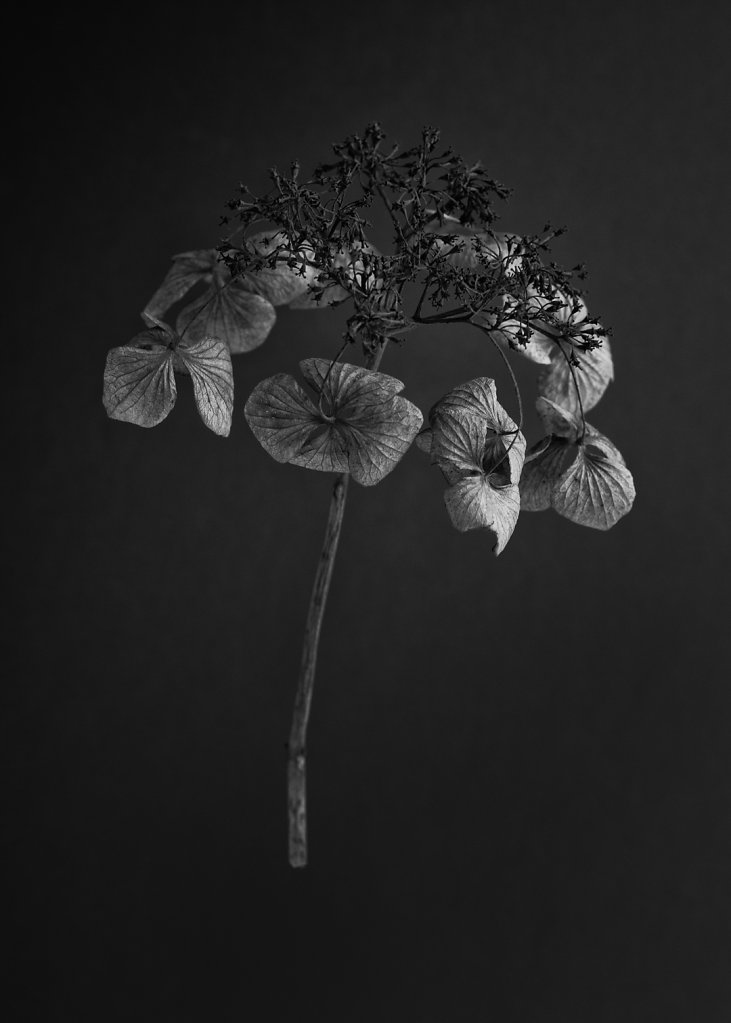 hydrangea-2.jpg
